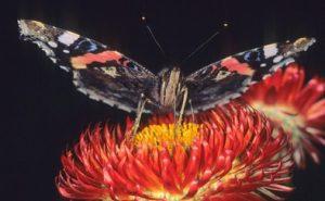 Les insectes pollinisateurs